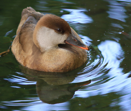 Female Rosy-billed Pochard Duck is pictured here. This is a wildlife bird photograph from the Everglades in Florida, USA. 版權商用圖片