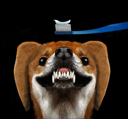 An adorable dog bares his teeth in a smile as he awaits having his daily tooth brushing.