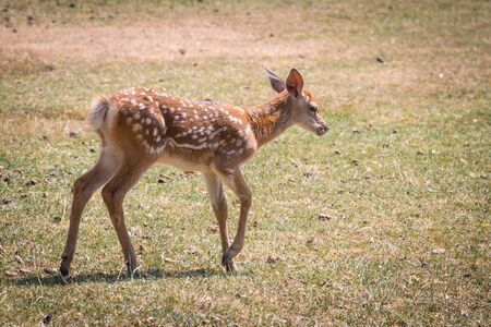 fawn: young fawn