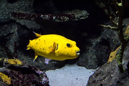 arothron: Yellow Pufferfish Stock Photo