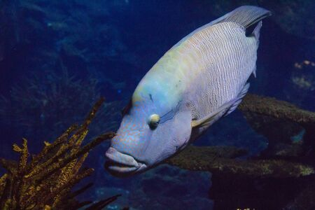 wrasse: Humphead wrasse