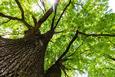 View through the crown of an oak tree Stock Photo