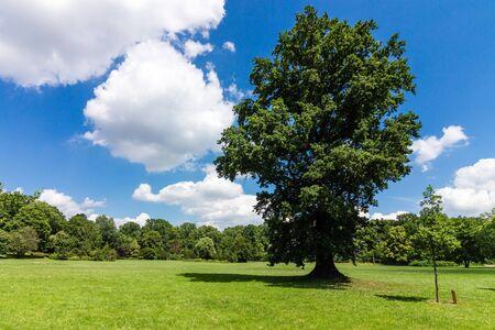 Great Oak Tree on a wide green meadow Stock Photo