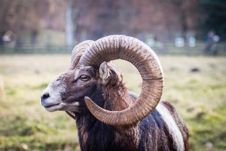 Head of an european mouflon