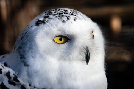 Head of a Snowy Owl