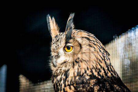 Head of an Eagle Owl