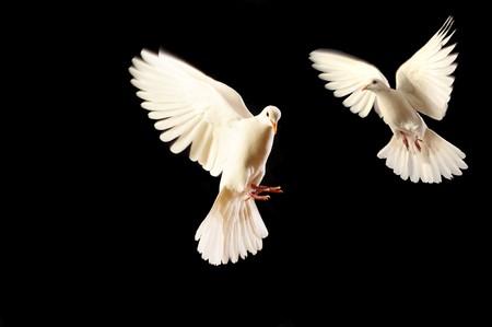 flying white doves isolated on black