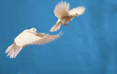 vliegende witte duiven geïsoleerd op blauw Stockfoto