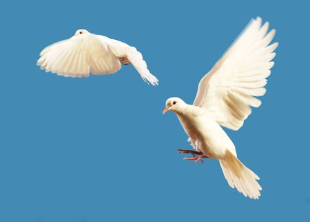 flying white doves isolated on blue