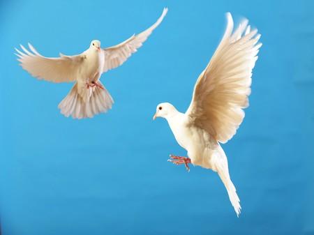 palomas volando: palomas volando blanco sobre azul aislado