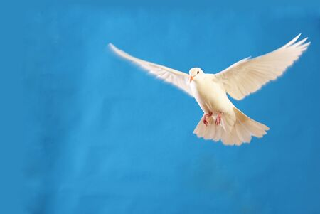 flying white doves isolated on blue