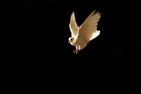 vliegende witte duif