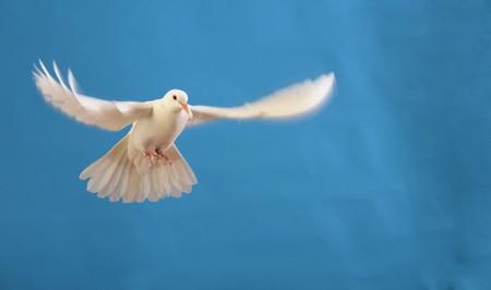 vliegende witte duif Stockfoto