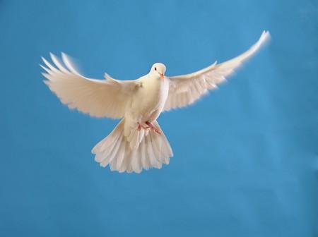 palomas volando: paloma blanca volando Foto de archivo