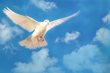 white dove: flying white dove Stock Photo