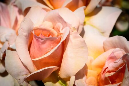 mother of pearl: Close Up of a Mother of Pearl Rose