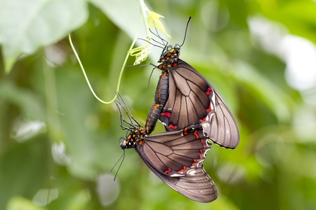 edel: Two butterflys during  Stock Photo