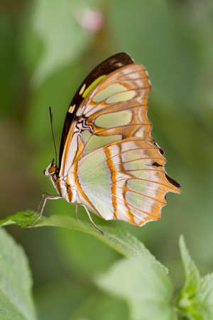 pet photography: Butterfly on a green leaf  Macro  Focus is on the body