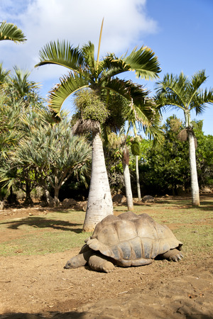 Sleeping turtle at the Crocodile Farm in Mauritius. This park has over 800 turtles in a huge area.