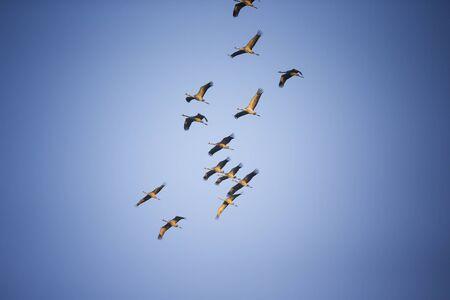 Cranes against blue sky - Linum (Germany)