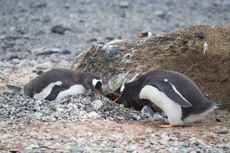 nesting: 2 gentoo penguins nesting in Antarctica