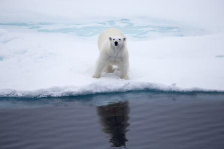 ours: A Polar bear on an iceflow. Stock Photo