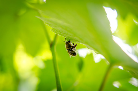 A bee rest for a while at wine leaves in a peaceful atmosphere
