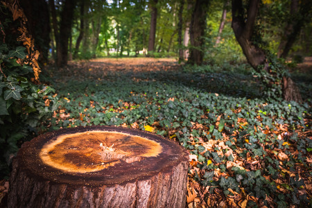 A stump in a ivy forest - Germany