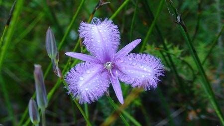 nsw: Blue Wildflower NSW AU