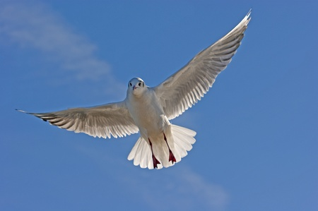 wingspread: a seagull flying into the blue sky Stock Photo
