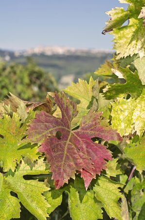biological vineyard: Red, yellow and green leaves of vine Stock Photo