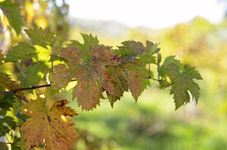 biological vineyard: red, yellow and green vine leaves with bokeh Stock Photo