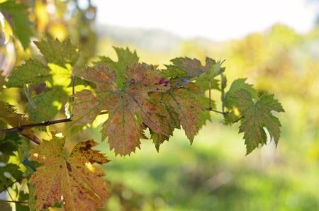 wijnbladeren: rode, gele en groene wijnbladeren met bokeh Stockfoto