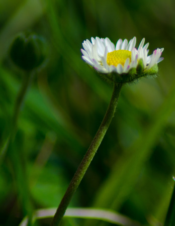 marguerite: closeup of daisy on background a green grass blurred