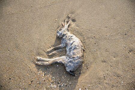 Dead hare on the seashore Stock fotó