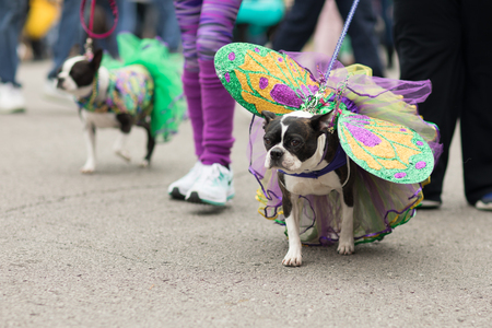 St. Louis, Missouri, USA - February 04, 2018, The Beggin' Pet Parade is part the Soulard neighborhood Mardi gras celebrations in St. Louis, and it consist of dogs in costume and their owners marching down the streets in the neighborhood. Editorial