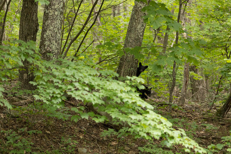 Two Cubs among trees looking at the camera spotted when driving along the Skyline Drive at the Shenandoah National Park.