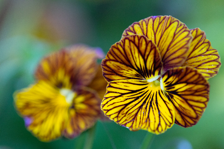 Close up of a Viola Tiger Eyes Pansy flowers Archivio Fotografico - 115113176