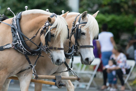 Louisville, Kentucky, USA - May 03, 2018: The Pegasus Parade, Two Horses Pulling a carriage down W Broadway during the parade