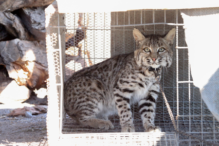 Bobcat captured, in a cage and chained, looks scared