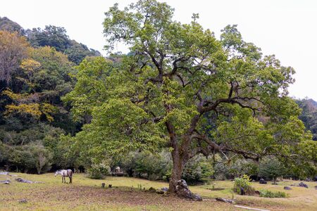 Large tree in a valley in the middle of the mountains at el Cielo, Tamaulipas, Mexico Imagens