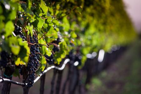 Verarbeitung und Pflege der Weinberge in der Toskana von Rot- und Weißwein in Bolgheri Standard-Bild