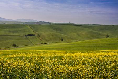 菜種と風景で覆われた丘の Orciano ・ ピサーノ、ピサ、トスカーナ、イタリア、ビュー
