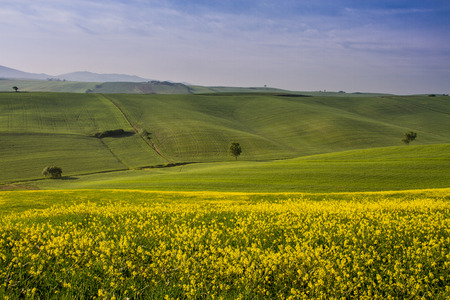 Orciano Pisano, Pisa, Tuscany, Italy, view of hills covered with rape, landscape Stock Photo