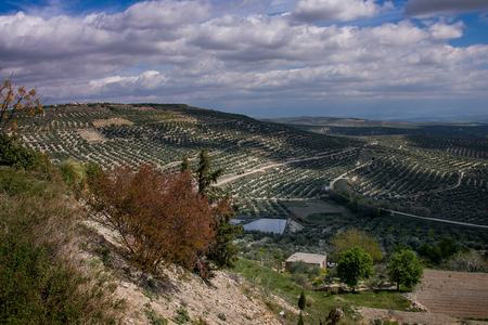 Andalusia, Spain, vast expanses of olive trees in the valley opposite the town of Ubeda
