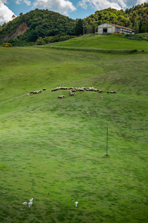 etruscan: Querceto, Montecatini Val di Cecina, Pisa - Italy - Landscape with flock of sheep