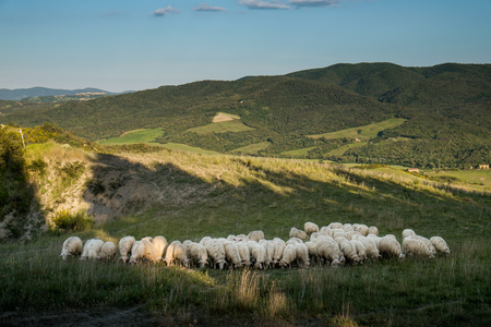 VOLTERRA, TUSCANY - MAY 21, 2017 - Flocks of sheep on the hills leading from Volterra to the medieval village of Mazzolla Stock Photo