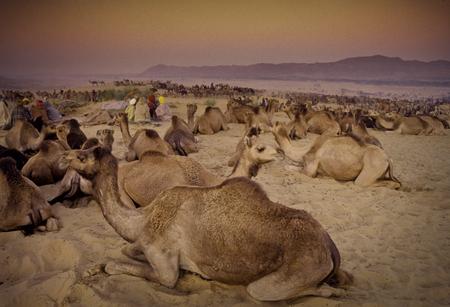 thar: PUSHKAR, INDIA - NOVEMBER 17: Camels at the annual livestock fair on November 17, 1982 in Pushkar, Rajasthan, India Editorial