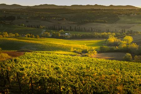 VAL DORCIA, TUSCANYITALY - Vineyard in Val dOrcia Tuscany Editorial