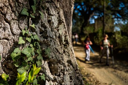 Montescudaio, Pisa, Italy - October 19, 2017 - ivy attached to the bark of the secular oak and hikers walk along the hills rich in vineyards, olive groves, cork oak trees, mushrooms and water courses in the area of Montescudaio province of Pisa in Tuscany Archivio Fotografico